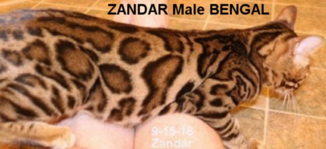 male Bengal cat used for breeding