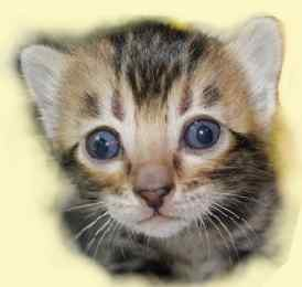 bright eyes and clean nose help determine the health of kittens
