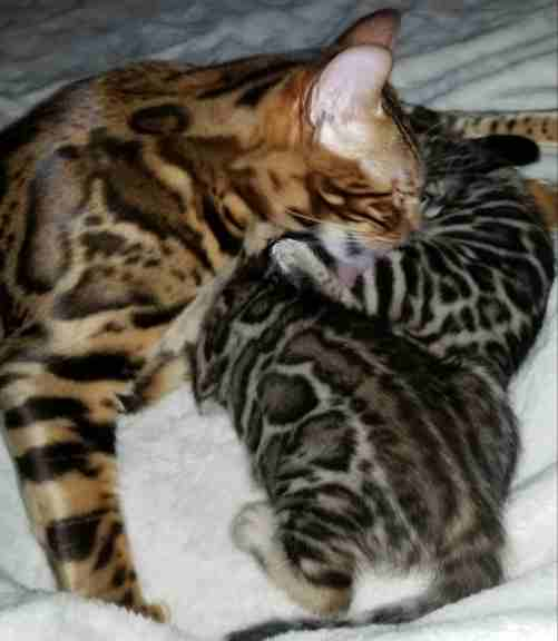healthy exotic spotted bengal kittens for sale