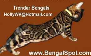 affordable exotic spotted bengal kittens for sale